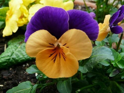 Viola cornuta orange-violet