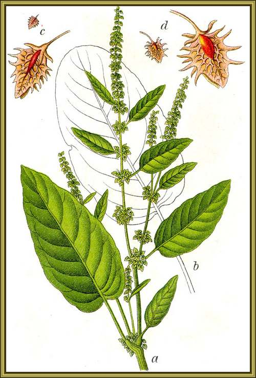 Vertus médicinales des plantes sauvages : Patience sauvage