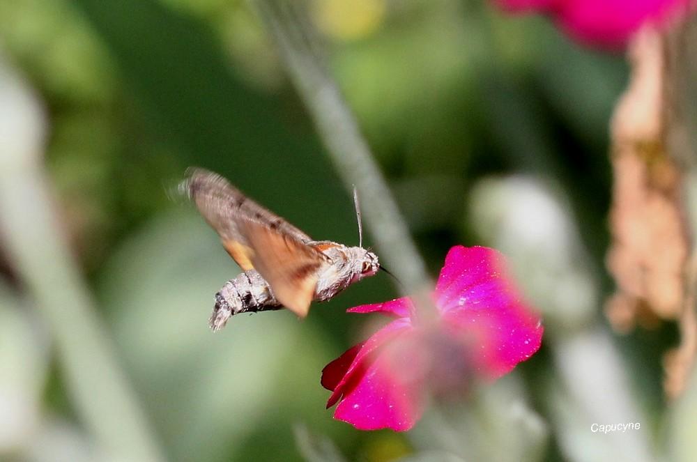 Le Moro-Sphinx, le papillon colibri !