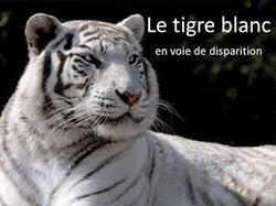 Le tigre blanc ...