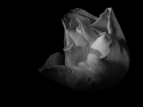 Rose jaune...