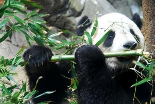 Le panda géant Ailuropoda melanoleuca