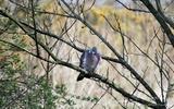 Pigeon ramier - p27