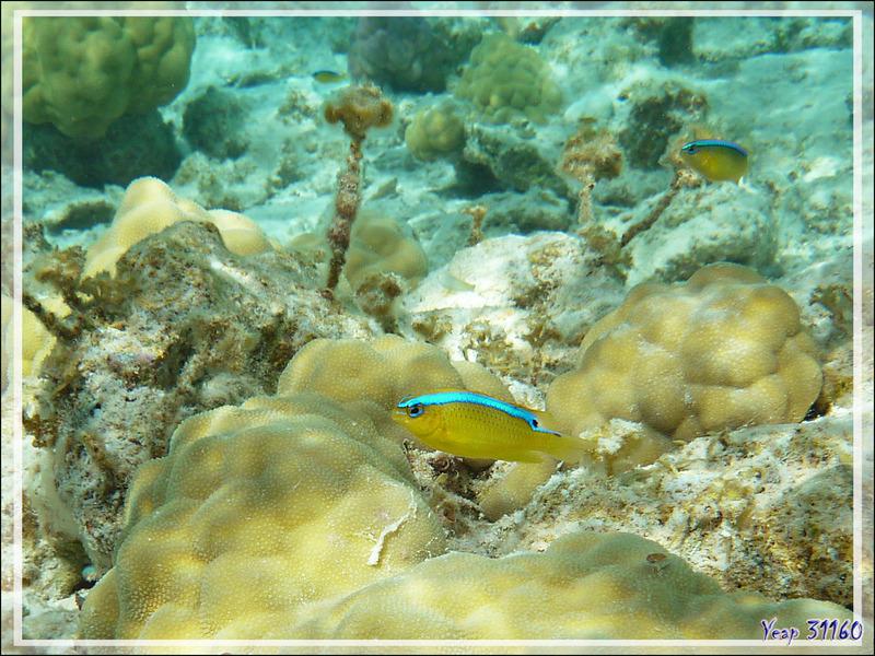 Demoiselle de Brownrigg, Surge damselfish (Chrysiptera brownriggii) - Pension Kuriri - Maupiti - Polynésie française