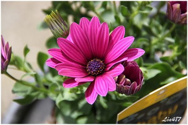 Fleurs-2-5323-Osteospermum.jpg