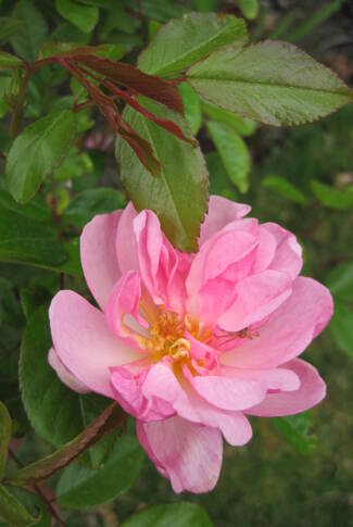 rose Louis Blériot de Meilland