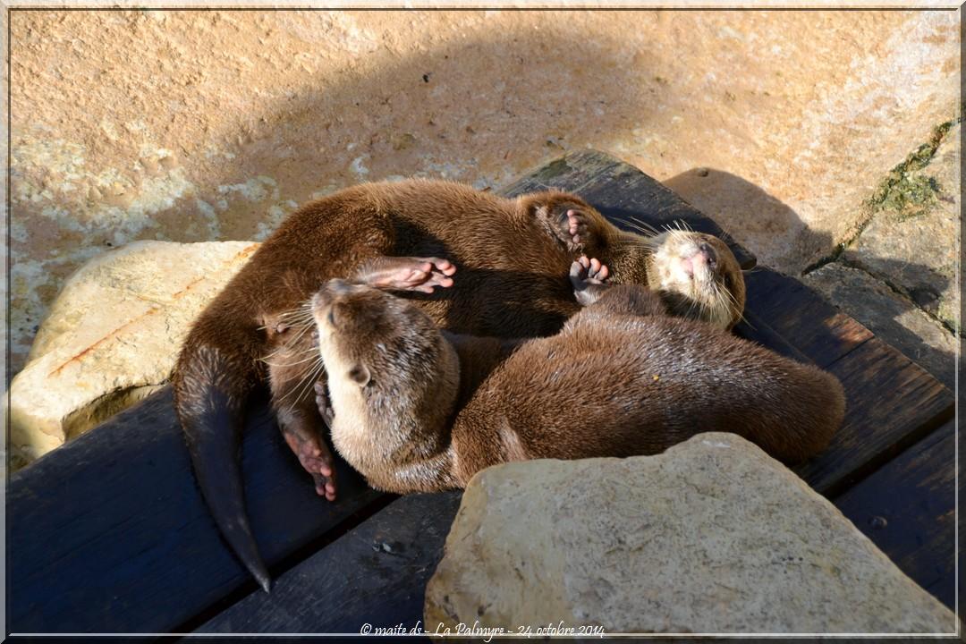 Loutre cendrée - Zoo de la Palmyre - Charente-Maritime (3)