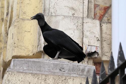 Urubu noir (Black Vulture)