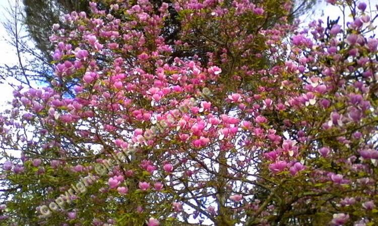 reconnaissance des vegetaux ,Le Prunus subhirtella 'Pendula Rosea et le Magnolias à feuillage caduc Magnolia de Soulange (Magnolia x soulangeana).