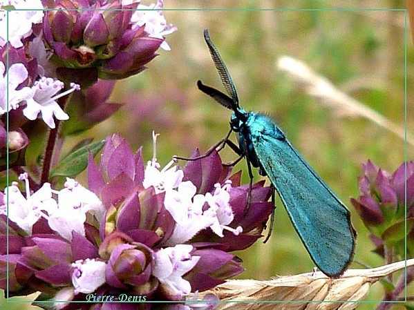 Turquoise mâle