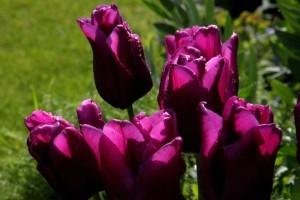 Tulipes Passionale