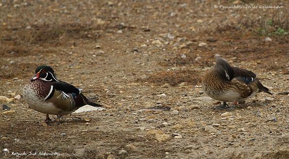 Canards Carolins ♂ et ♀