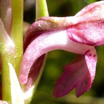 Anacamptis coriophora subsp. fragrans  - orchis parfumé