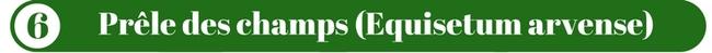 Prêle des champs (Equisetum arvense)