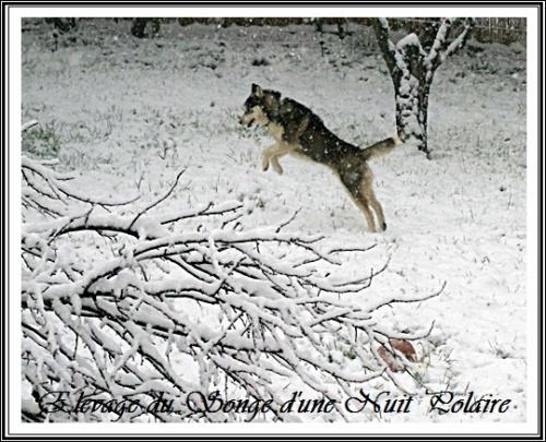 Husky Glasko dans la neige
