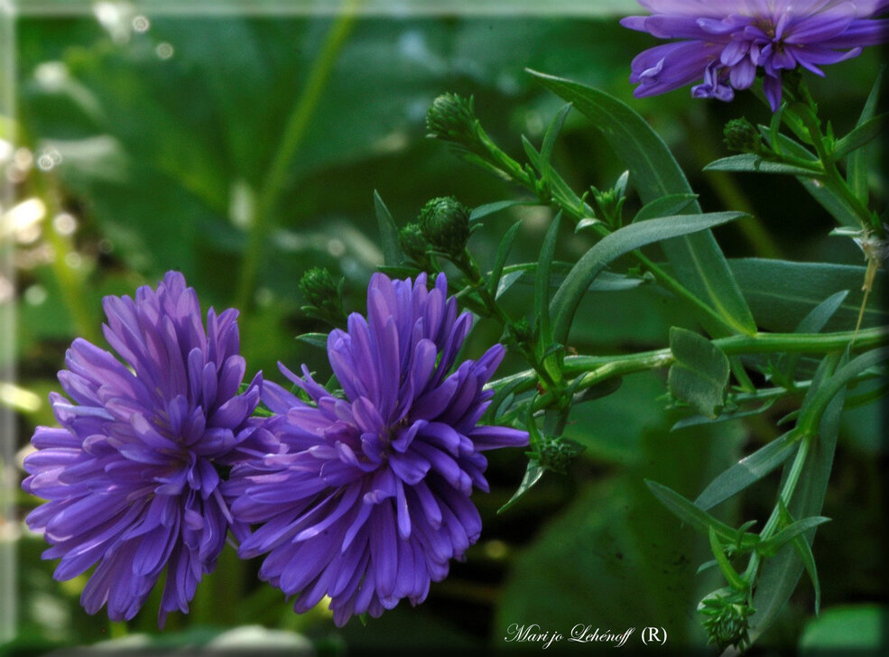 Quelques Asters