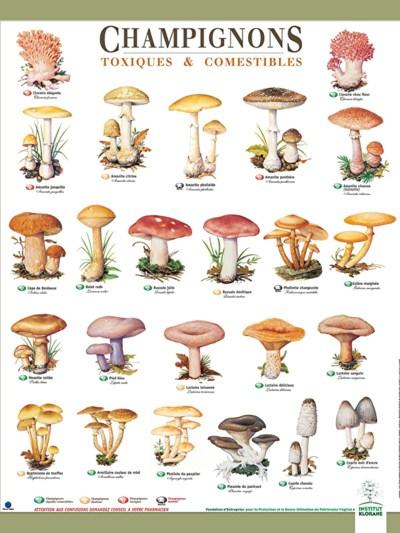 Les champignons toxiques ou comestibles chipiron - Comment nettoyer des champignons des bois ...