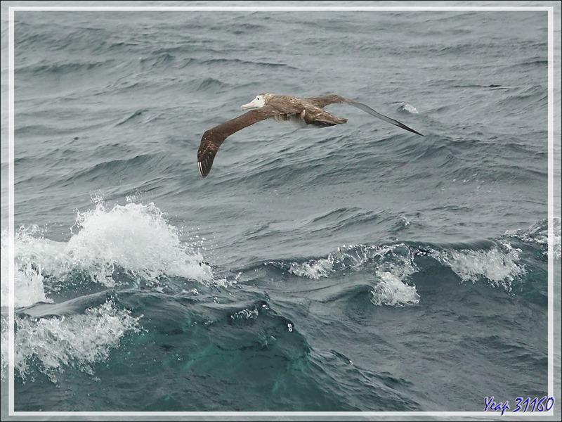 Albatros hurleur immature, Wandering Albatross (Diomedea exulans) - 50èmes hurlants - Atlantique Sud