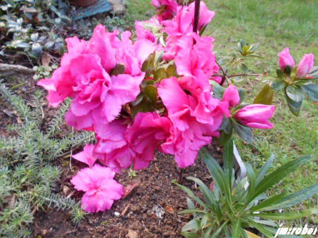 Encore ses fleurs malgré le passage d'Amélie
