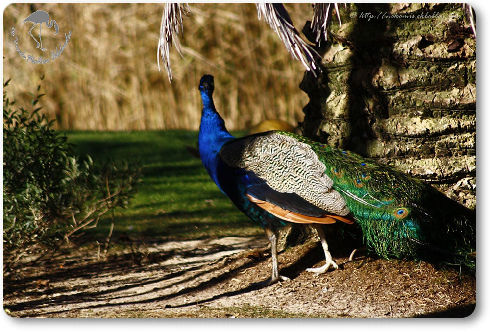 Paon bleu ( Pavo cristatus )