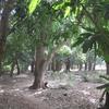 049 Après Kéniéba sous les manguiers 3