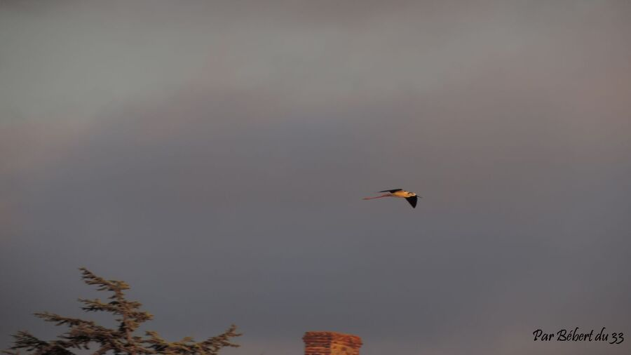 oiseaux en vol ! échasse