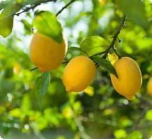 Régime citron