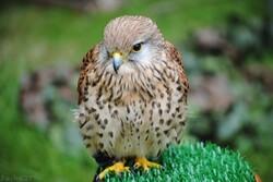 {animal de la semaine} Le faucon crécerelle.