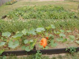 Premières récoltes