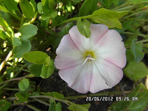 fleurs-20-Juin-010.JPG