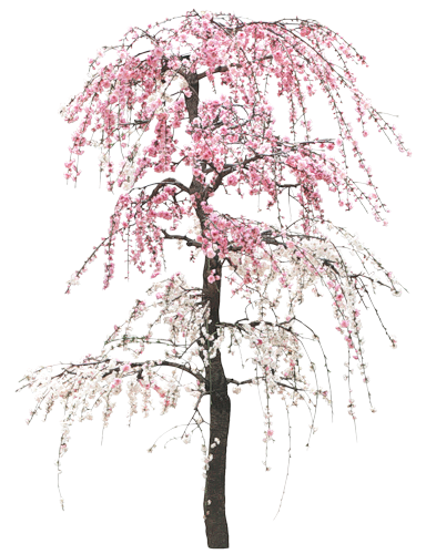 Floraison des Sakura