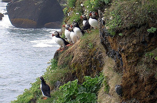 800px-Atlantic Puffin Iceland