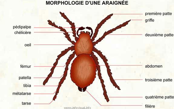 Morphologie-areignee.jpg