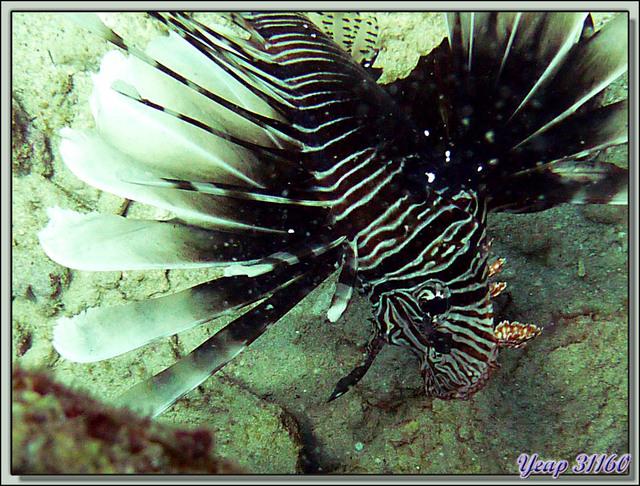 Blog de images-du-pays-des-ours : Images du Pays des Ours (et d'ailleurs ...), Rascasse volante Pterois (Lion fish) - Plongée à l'île Maurice