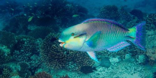 Le poisson -perroquet :
