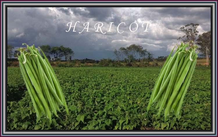 Vertus médicinales des légumes et des fruits : HARICOT