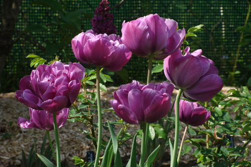 Tulipes Blue Diamond