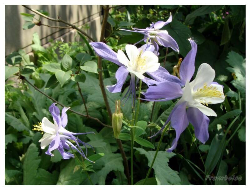 Ancolie bleue du jardin 2016