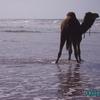 aglou - plage - pause pipi des dromadaires - 2