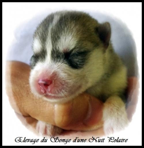 Chiot Husky Femelle 1 (2j)