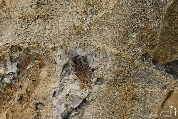 Mimétisme du Grimpereau des jardins