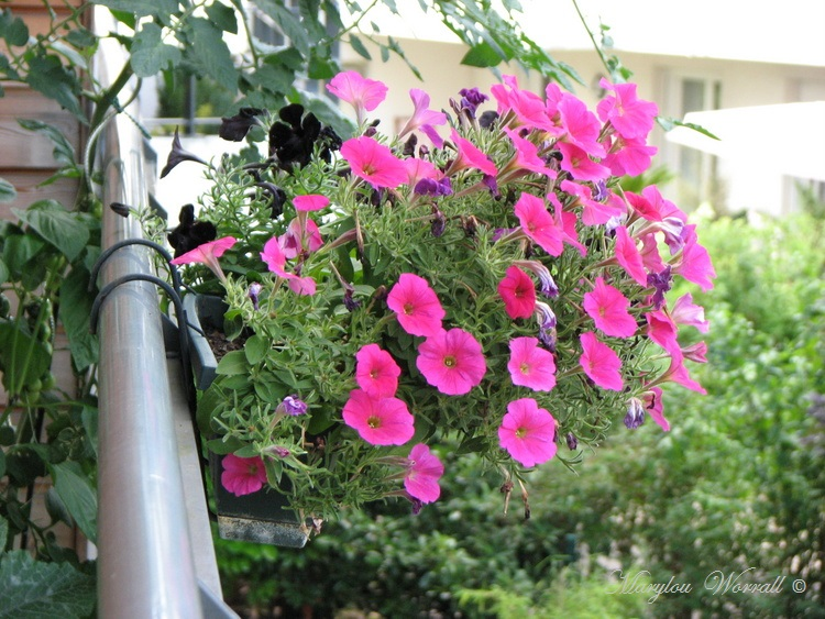 Souffelweyersheim (67):Jardin au balcon