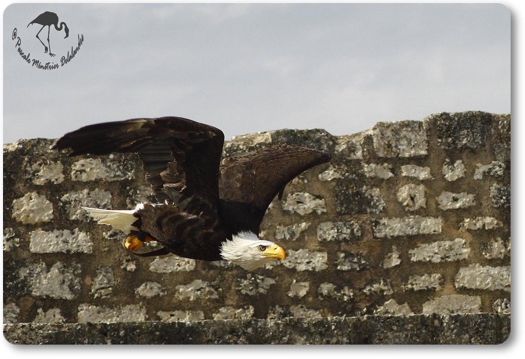 Pygargue à queue blanche (Vol Libre - Provins)