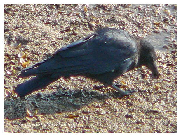 Les corbeaux - The ravens