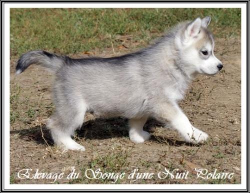 Chiot Husky Femelle 3 (47j)