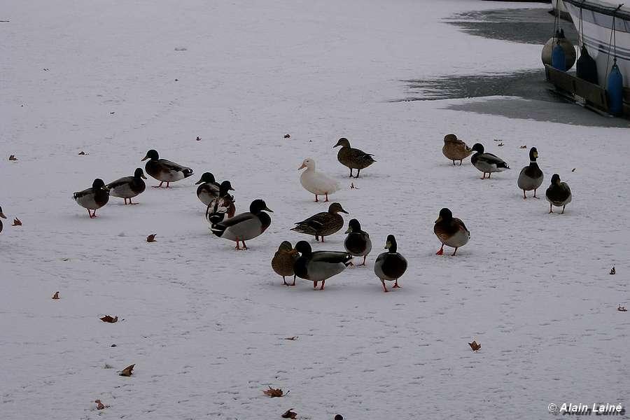 Les canards sont heureux - Gardouch