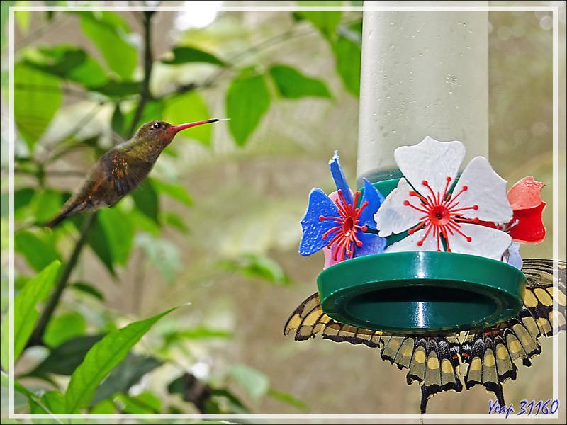 Colibri Saphir à queue d'or ou Colibri doré, Gilded Sapphire (Hylocharis chrysura) - Parque das Aves - Foz do Iguaçu - Brésil