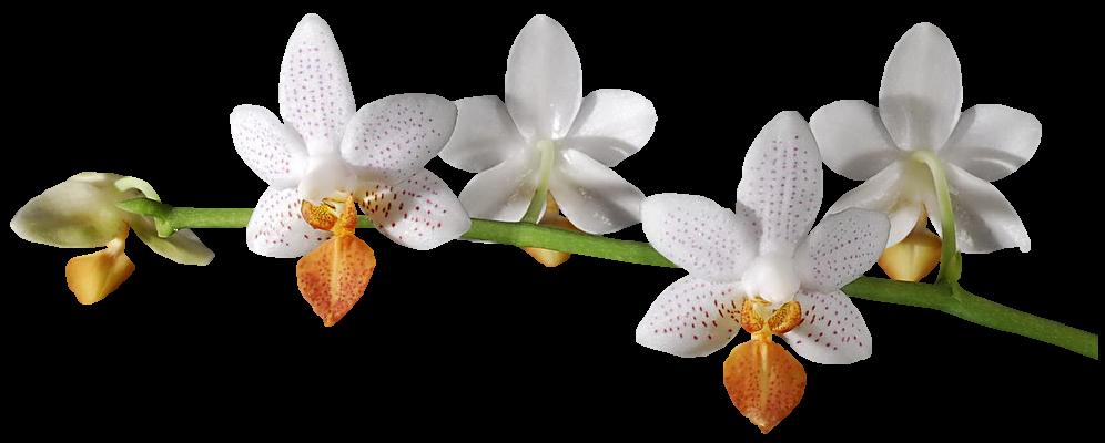 Virágok - Orchidea