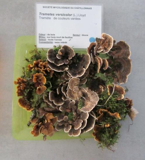 Les membres de la Société Mycologique du Châtillonnais ont effectué un  séjour dans les Vosges à la recherche d'espèces différentes de champignons....