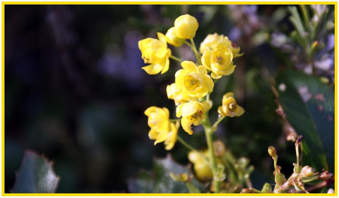 Mahonia aquafilium